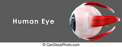 Human Eye - The human eye is an organ that reacts to light...