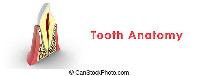 Tooth structure - A tooth plural teeth is a small,...