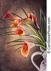 Zantedeschia aethiopica, Calla lily flower in frot of red...