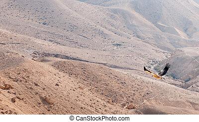 A bird in Negev desert - Vulture flying in the desert...