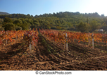 Rural autumn vineyard - Small rural vineyard in the small...