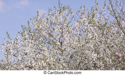 Blossoming cherry against the blue sky background