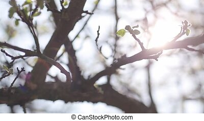 Blossoming apple with blue sky back