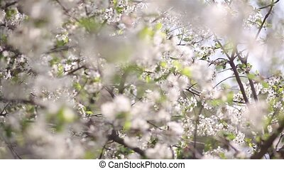 Blossoming cherry with beautiful