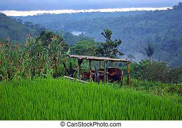 Cows On A Farm, Bali - Cows on a farm in the village of...