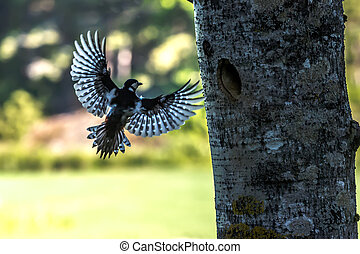 Backlighting - The female greater woodpecker Dendrocopos...