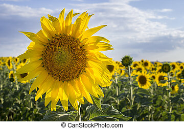 Sunflower, Species, Helianthus annuus, crop landscape,...
