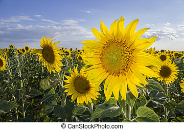 Sunflower, Species, Helianthus annuus, crop landscape,...