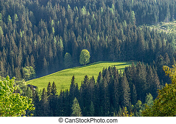 Forest, Carinthia, Austria - A forest with firs in...