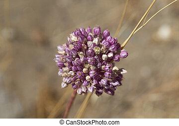 Allium ampeloprasum - Flora of Gran Canaria - flowers of...