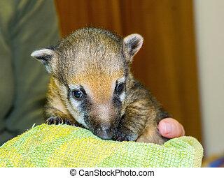 South American coati Nasua nasua baby - Very young South...