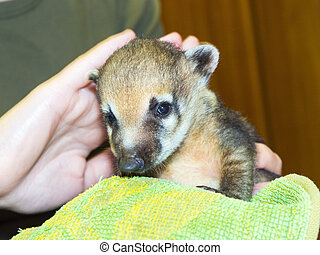 South American coati Nasua nasua baby - Very young South...