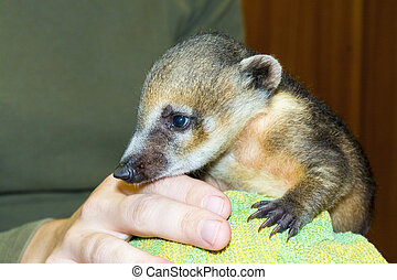 South American coati (Nasua nasua) baby - Very young South...