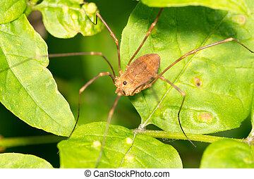 Harvestmen Spider perched on a green leaf.
