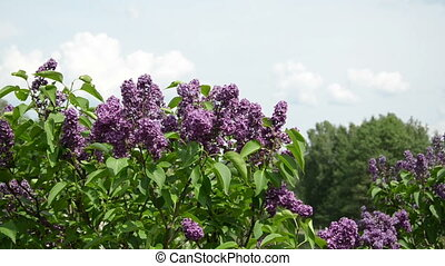 girl smell lilac blooms - Girl smell lilac tree blooms and...