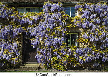 Wisteria on a honey-coloured stone cottage - Wisteria grows...