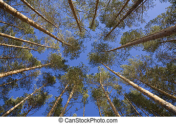 shot looking up at a canopy of pine trees