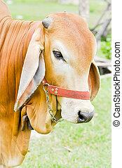norteamericano, brahman, vaca,