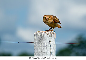 Burrowing Owl - Burrowing owl on a fence post. Athene...