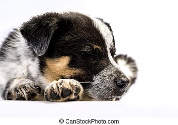 Cute Texas Heeler Puppy Sleeping - Cute Texas Blue Heeler (a...