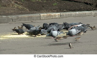 Flock of pigeons and sparrows feeding at park