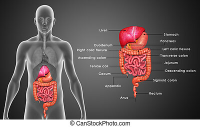 Digestive system - In the human digestive system, the...