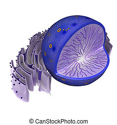 Nucleus in animal cell - The nucleus is a highly specialized...