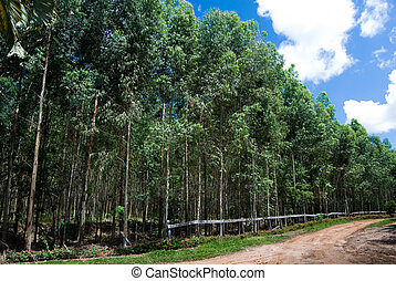 Eucalyptus - Reforestation of eucalyptus for production of...