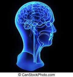 Head anatomy - Head and neck anatomy focuses on the...