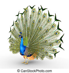 Peacock - Peafowl include two Asiatic species and one...