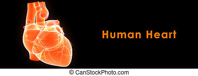 Human Heart - The heart is a hollow muscular organ that...