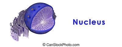 núcleo, en, animal, célula,