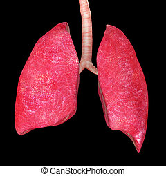 Lungs - The lung is the essential respiration organ in many...