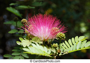 Acacia, flor