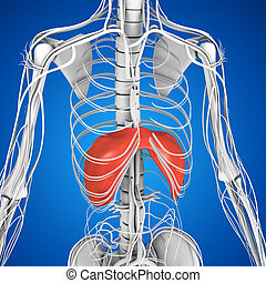 Diaphragm - In the anatomy of mammals, the thoracic...