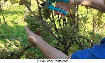 Grape picking - Picking grape in vineyard