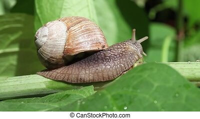 Snail on a branch - Close up shot of a garden snail on a...