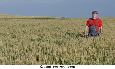 Agriculture, farmer in wheat field - Farmer inspect quality...