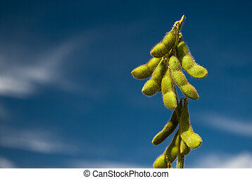 Soy Bean - Soy is a rich grain in proteins, cultivated as...