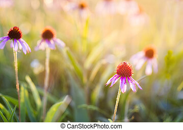 Purple Coneflowers - Lavender coneflowers bathed in morning...