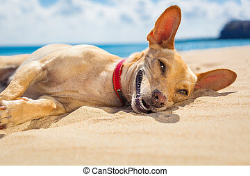 relaxing dog on the beach - chihuahua dog relaxing and...