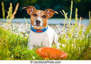 frisbee dog - jack russell dog , ready and begging to play...
