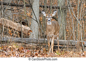 Natural Habitat - White-tailed does in the autumn forest.