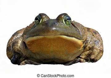 Bullfrog Rana catesbeiana isolated on a white background