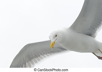Kittiwake flying against white sky close up
