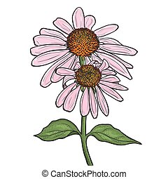 Hand drawn flowers - Echinacea purpurea (purple coneflower)....