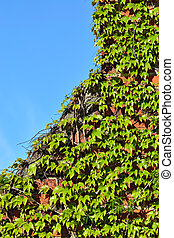Wild grapes on the old brick wall - Parthenocissus...
