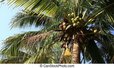 palm tree with fruits in the blue sunny sky