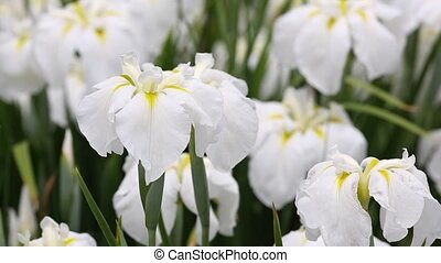 white iris flower on flower bed