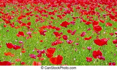 flowers meadow of red poppies field in windy day, rural...